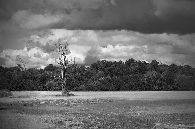 Moszna. Samotne drzewo rażone najprawdopodobniej piorunem nieopodal kompleksu pałacowego.